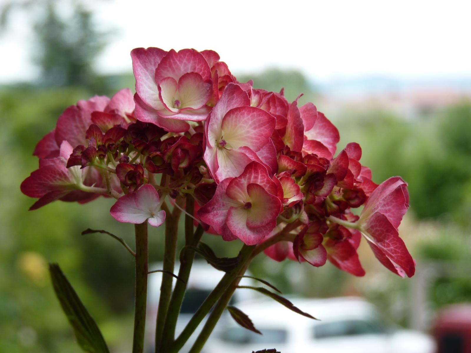 Ortensie Rampicanti Vendita : Produzione e vendita di ortensie in vaso