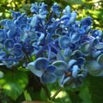 Macrophylla 'AYESHA'
