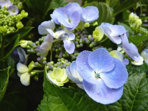 macrophylla 'BLAULING'