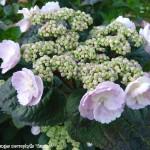 macrophylla 'CAMINO'