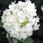 macrophylla 'COCO'