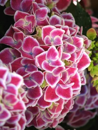 Selezione di ortensie rare iin vaso, suddivise per famiglie. Novità in anteprima